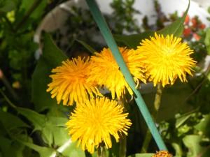 Fleurs de pissenlit, naturopathie